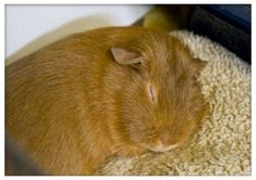 Another added bonus to fleece? Your pigs will love it! Having a clean dry cage means you are free to make small pillows and beds for your pigs to lounge around on, without having to worry about them getting filthy in minutes.