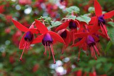 Fuchsia flowers - Google'da Ara