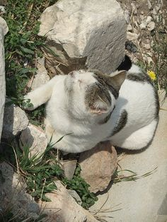 Another of many cats in Athens