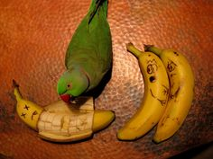 Parrot and Banana Funny Art : India Pictures - Funny India Pics & Photos Banana Uses, Banana Art, Funny Birds, Funny Animals, Cute Animals, Banana Funny, Funny Fruit, Funny Food, Funny Jokes