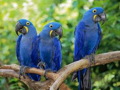 Hyacinth macaws. Juveniles, I believe. Their feet are larger than their body size requires.