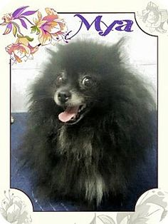 Oak Ridge, NJ - Pomeranian. Meet Mya-Tiny and Sweet!, a dog for adoption. http://www.adoptapet.com/pet/12766524-oak-ridge-new-jersey-pomeranian