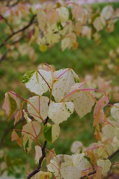 Cercis 'Gold Crown'