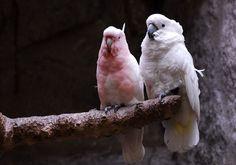 Pappagalli cacatua - Cockatoo