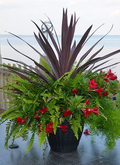 rio dipladenias red blooms with sprengerii fern and spike accents black pot available in red. Black Bedroom Furniture Sets. Home Design Ideas