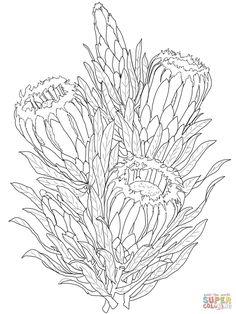 Protea Neriifolia or Oleanderleaf Protea | Super Coloring