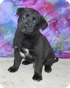 Allentown, NJ - Labrador Retriever/Shepherd (Unknown Type) Mix. Meet Geronimo, a puppy for adoption. http://www.adoptapet.com/pet/12810777-allentown-new-jersey-labrador-retriever-mix