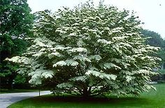 Cornus kousa  Kousa dogwood -- Small tree for driveway bed