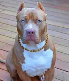 Pitbull Terrier, Pitbull Dog Puppy, Amstaff Terrier, Bully Dog, Labrador Husky, Cute Puppies, Cute Dogs, Dogs And Puppies, Dog Games