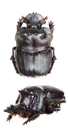 Coprophanaeus morenoi