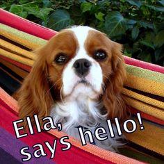 King Charles Spaniel, Cavalier King Charles, Pet Dogs, Pets, Spaniels, Say Hello, Cute Animals, Crochet, Blue Prints