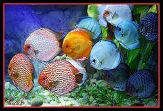 acquario discus - Cerca con Google