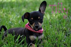 Tilly the Chiweenie just 5 weeks old so so cute!