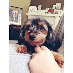 AND THEY ARE THE CUTEST DOGS IN THE WORLD. | Oh My Gosh, A Dachshund Mixed With A Yorkie Is Called A Dorkie And They Are Adorable