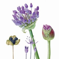 Portfolio of botanical illustrator Carolyn Jenkins, specialising in scientifically observed beautiful watercolour botanical illustrations. Botanical Flowers, Botanical Prints, Watercolor Flowers, Watercolor Art, Illustration Botanique, Botanical Drawings, Photorealism, Floral Illustrations, Whimsical Art