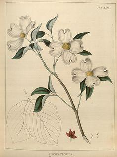 antique scientific illustrations dogwood - Google Search