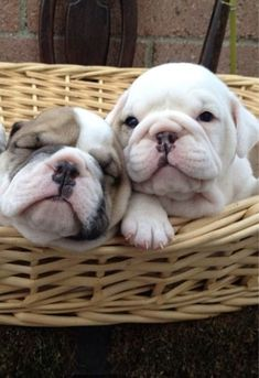 Sweet Bulldog puppies