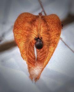 Golden Rain Tree Seed Pod   Flickr - Photo Sharing!