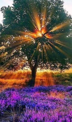 sunset purple tree
