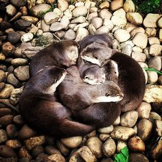 "Becky Vowles on Instagram: ""#otter #cuddle #zoo #cotswoldwildlifepark #notasmuchofameanyasfirstthought"""