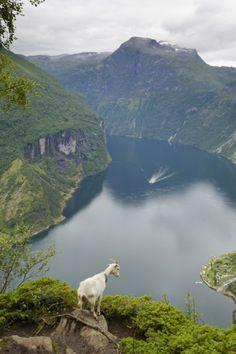Goats Overlooking Geirangerfjorden, Near Geiranger, Norway