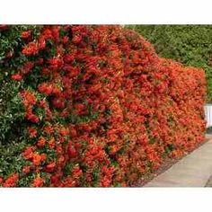 Pyracantha is a genus of thorny evergreen large shrubs in the family Rosaceae, with common Landscaping Supplies, Home Landscaping, Front Yard Landscaping, Garden Arch Trellis, Garden Hedges, Trellis For Sale, Garden Art, Garden Plants, Bonsai