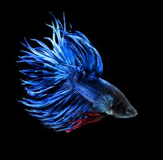 Blue Crown Tail Betta. This one looks like my male, Sushi, in another 10 gal.tank. They are super smart! And, of course beautiful! And, surprisingly, gentle, even in a community tank!
