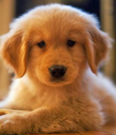 Oliver the Golden Retriever... this puppy grabs my heart! #goldenretriever