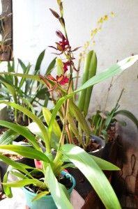 Janiopolis orquideas (28)