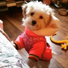 Nope I think she's ready for the stroll #maltipoo #puppy