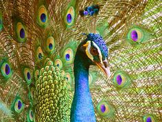 Peacock, Peacock'S Tail Peacock Art, Peacock Feathers, Peacock Decor, Peacock Colors, Green Peacock, Peacock Painting, Free Pictures, Free Photos, Eagles