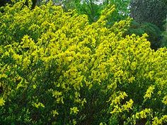 Cytisus decumbens , protegee Plants, Gardening, France, Google, Growing Plants, Succulent Plants, Growing Up, Lawn And Garden, Plant