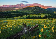 ***Flowery meadow (near Flagstaff, Arizona) by Guy Schmickle