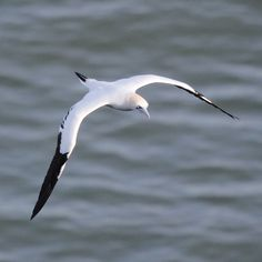 Gannet, Bempton Cliffs, East Yorkshire, Wildlife Photography, Nature, Birds