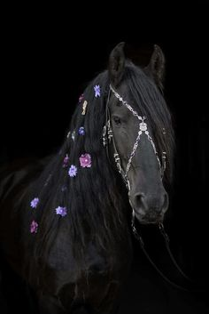 A glorious mane on this black Friesian horse dotted with colourful flowers and wearing an fine and elaborate bridle Most Beautiful Horses, Animals Beautiful, Cute Animals, Horse Mane, Friesian Horse, Andalusian Horse, Arabian Horses, Horse Bridle, Cute Horses