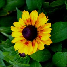 The newer varieties of Black Eyed Susan (rudbeckia) are really cool. Here's one called toto rustic.