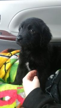 Border Collie Golden Retriever Mix Puppy For Sale In Amboy Wa