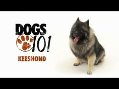 Dogs 101 - Keeshond  (my baby)