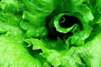 UrbanFig: Lettuce
