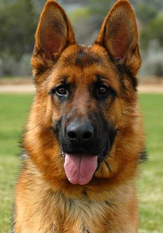Wicked Training Your German Shepherd Dog Ideas. Mind Blowing Training Your German Shepherd Dog Ideas. Big Dogs, I Love Dogs, Cute Dogs, Dogs And Puppies, Australian Shepherds, German Shepherds, Dog Breed Info, Best Dog Training, German Shepherd Puppies