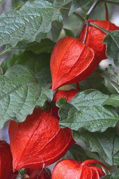 Beauty Rendezvous - Physalis alkekengi by mariluz picado garrido Unusual Flowers, Rare Flowers, Flowers Nature, Amazing Flowers, Beautiful Flowers, Exotic Fruit, Exotic Plants, Chinese Lanterns Plant, Seed Pods