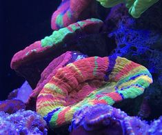 What are your favorite LPS corals? Help this reefer decide which ones to add to their reef! Click the link and make your recommendations: https://www.reef2reef.com/threads/help-me-decide-on-new-lps-corals.380586/
