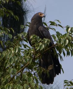 African Eagle in our yard!