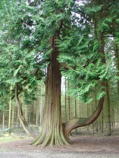 I adore trees like this one at Center Parc Longleat & they are so perfect for Ben to climb  #CPFamilyBreaks