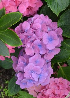These tight clusters of hydrangea blooms are a striking pinkish mauve color with periwinkle blue centers.This lovely mophead of individual flowers was photographed on the California coast in the picturesque town of Bodega Bay, in Sonoma County. Hortensia Hydrangea, Hydrangea Garden, Hydrangea Flower, My Flower, Flower Art, All Flowers, Purple Flowers, Beautiful Flowers, Flower Pictures