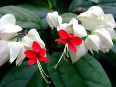 Clerodendrum thomsoniae take a 4 to 6 inch cutting.