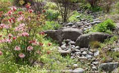 Rock lined drainage swale, seasonal stream in Menzies California native plant garden in spring with flowering azalea and wildflowers, San Francisco Botanical Garden