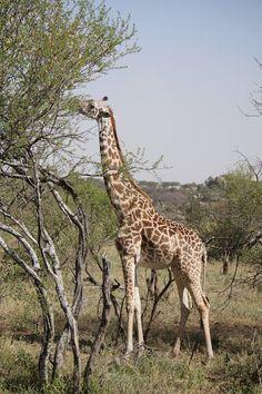 P.N. Serengueti - Memorias de Africa