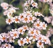 Waxflower, could use in hair for bride? And add to bouquets if you like it?