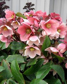 Unlike most hellebores, or Lenten roses, Gold Collection® 'Pink Frost' holds its blooms upright, so their white, pink and deep rose colors are easier to see in winter. The plants have attractive burgundy stems. Use these deer resistant plants as groundcovers or perennials in shady spots.